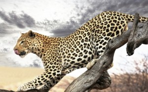 Leopard in profile