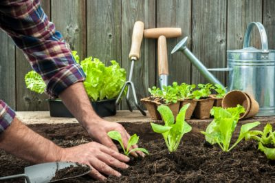 planting-lettuce-garden-featured-w740x493