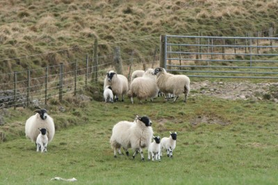 sheep-lambs-gate-pasture-featured-w740x493