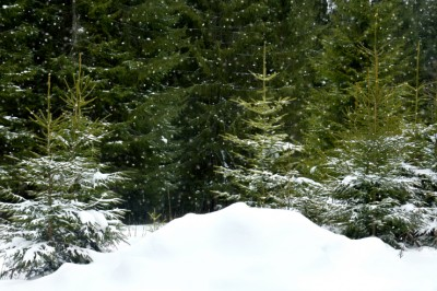 woods-christmas-trees-snow-featured-w740x493